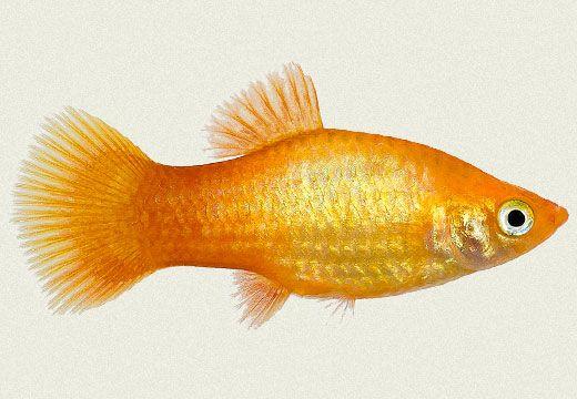 gambar ikan platy gold