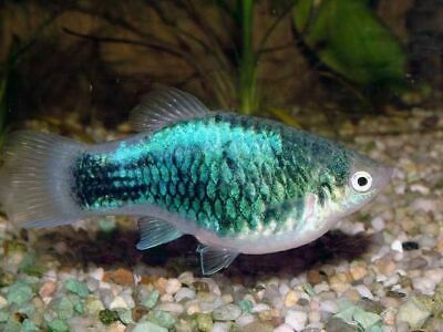 gambar ikan platy metallic green