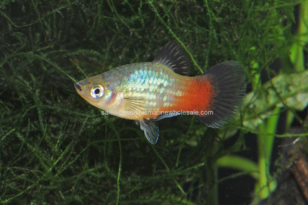 gambar ikan platy pelangi