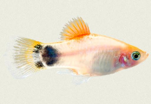gambar ikan tricolor platy mickey mouse
