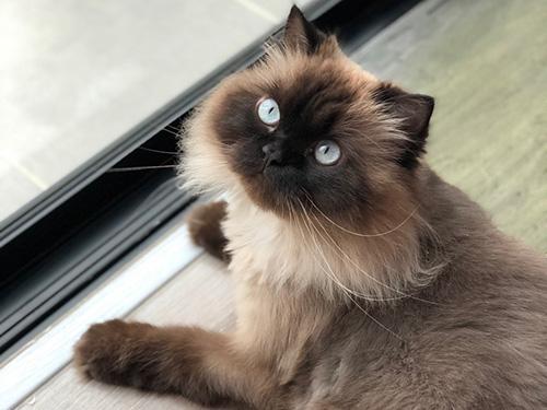 gambar kucing persia himalaya