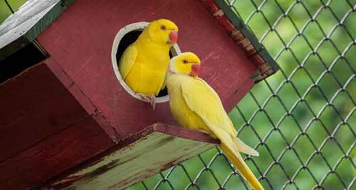info burung kenari