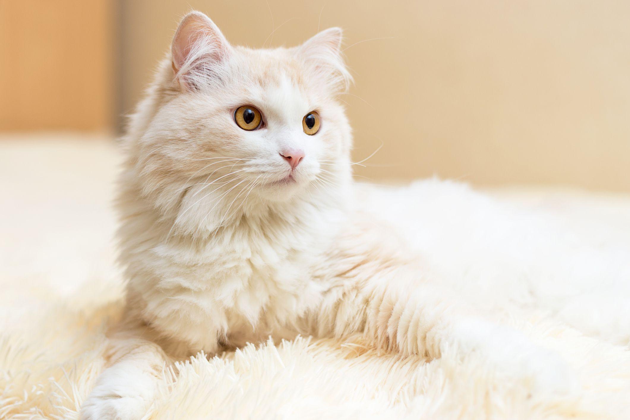 info kucing anggora