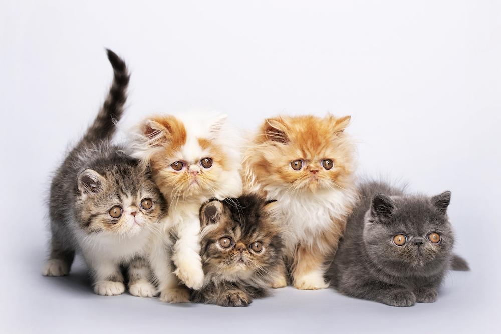 info kucing persia