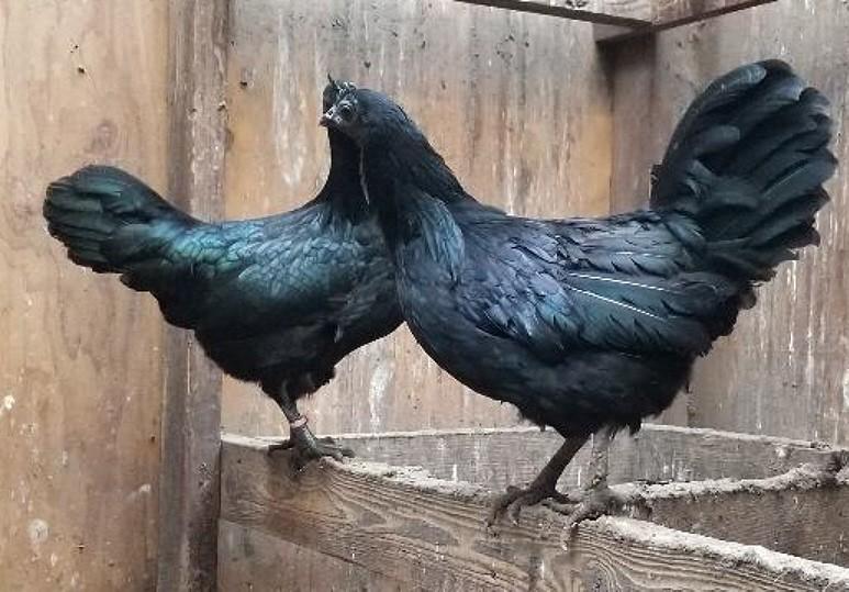 karakteristik ayam cemani