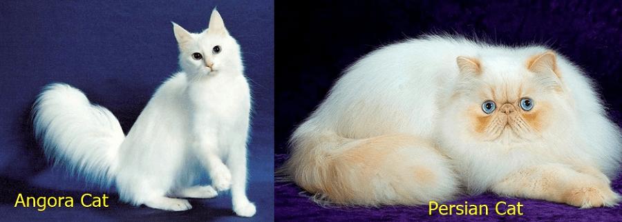 perbedaan kucing persia dengan angora