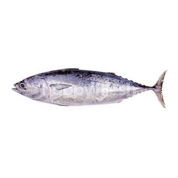 ciri ciri ikan tongkol