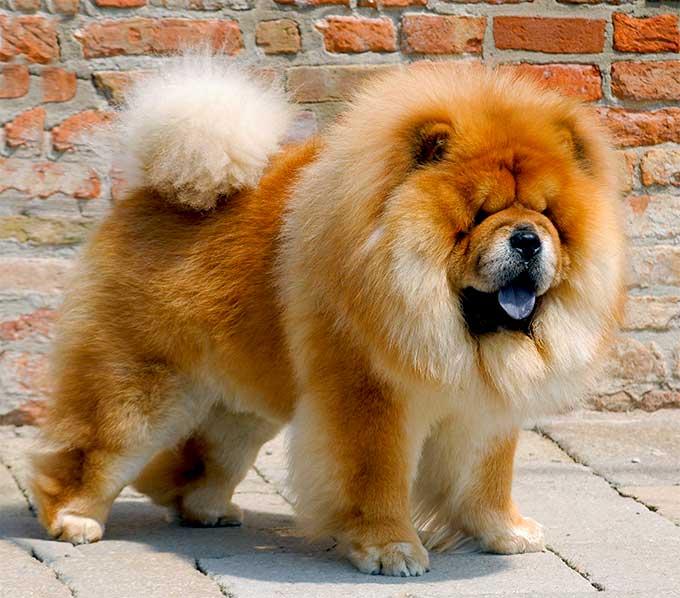 ciri karakteristik anjing chow chow