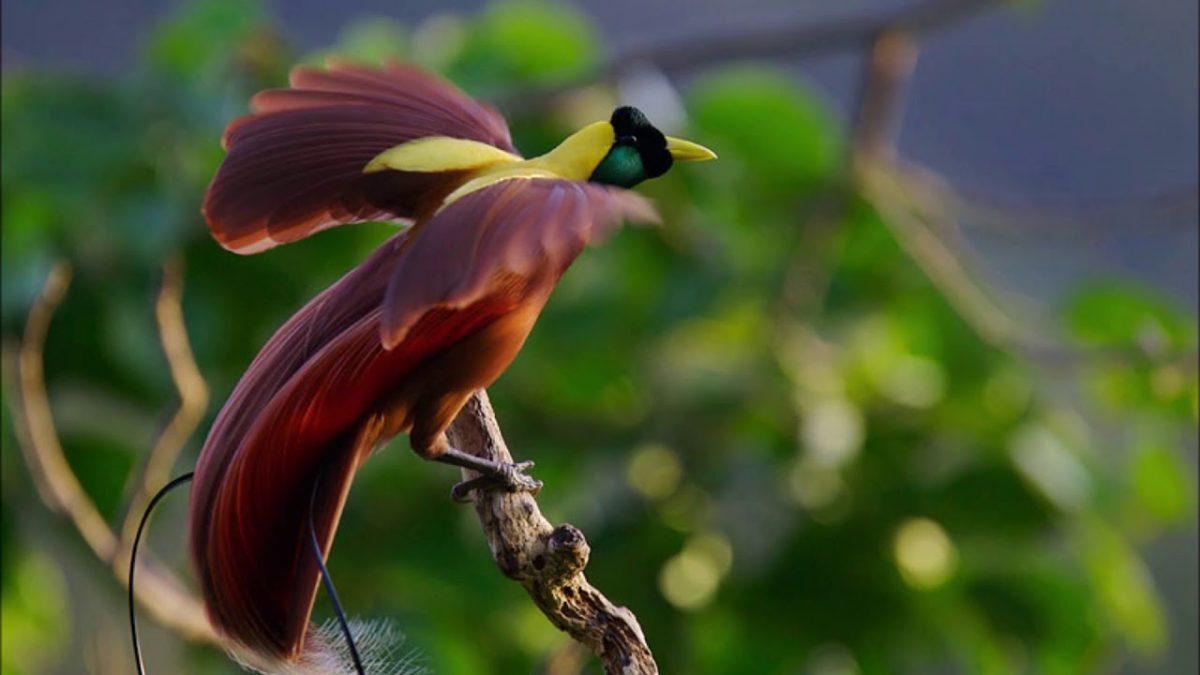 ciri karakteristik burung cenderawasih