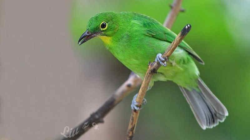 ciri karakteristik burung cucak ijo