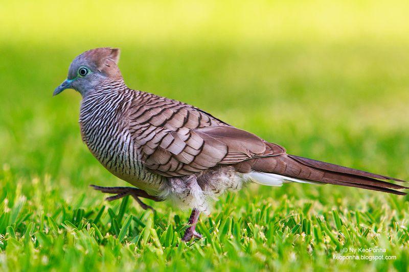 ciri karakteristik burung perkutut