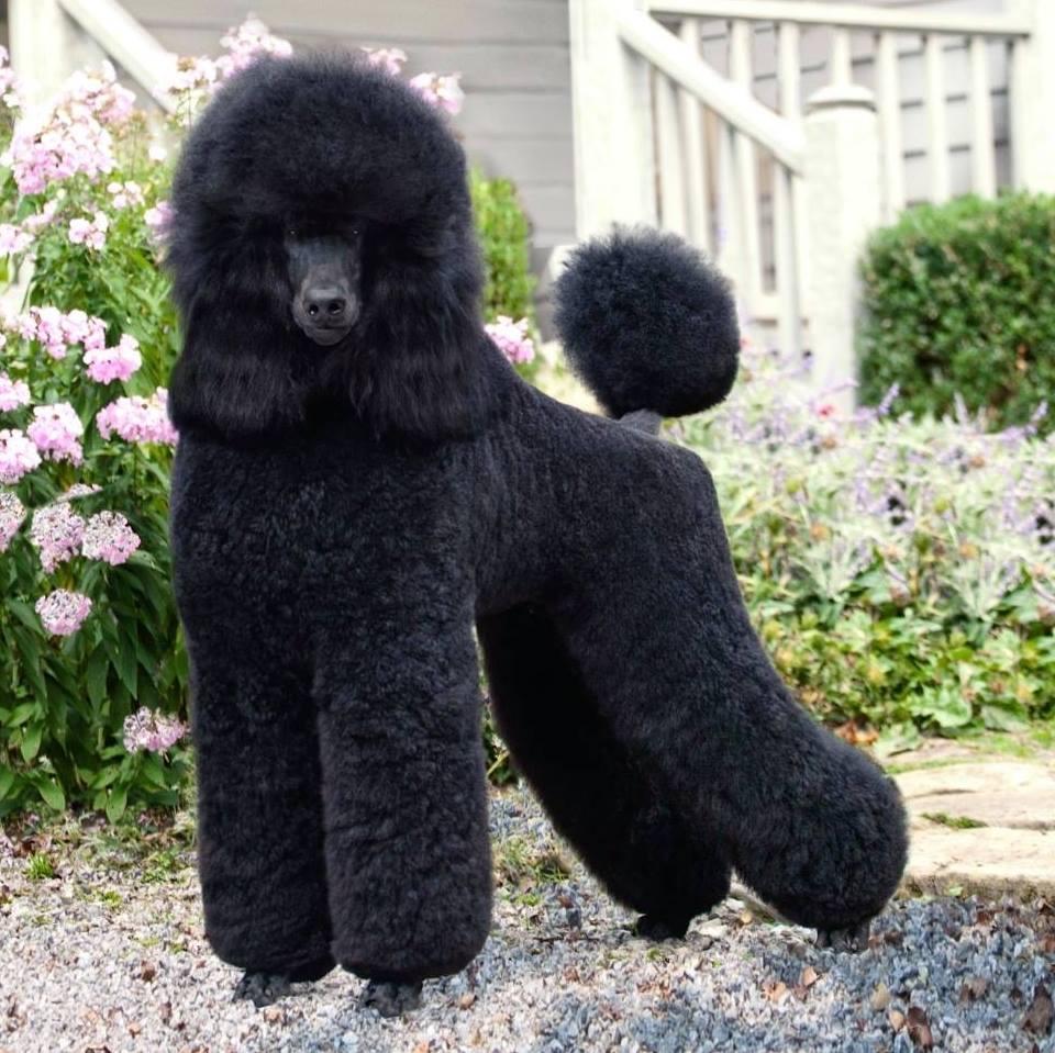 ekor anjing pudel