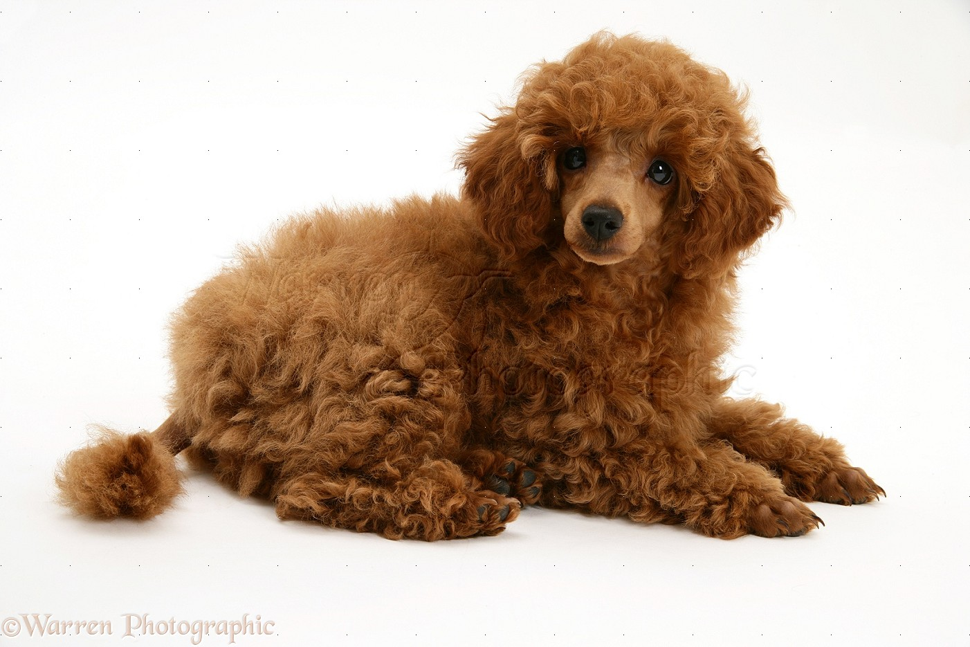 gambar anjing pudel lucu