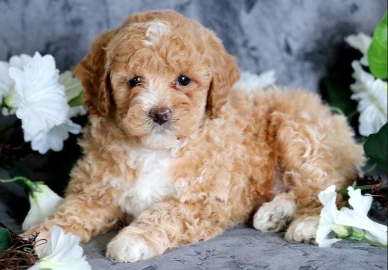 gambar anjing pudel toy