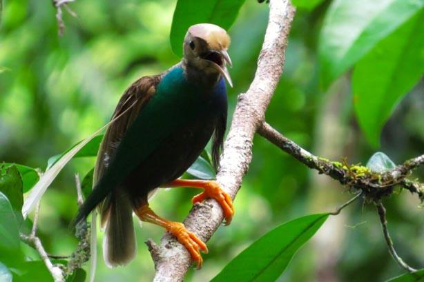 gambar burung cenderawasih bidadari halmahera