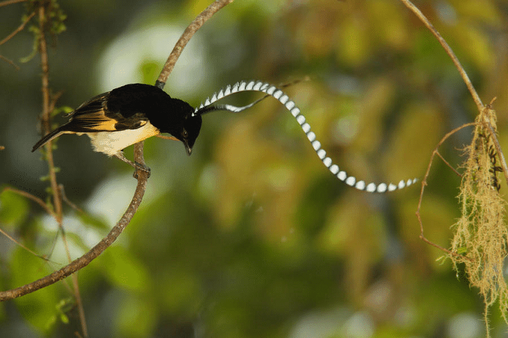 gambar burung cenderawasih panji