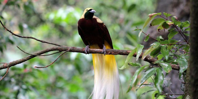 gambar burung cenderawasih paradigalla ekor panjang