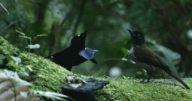 gambar burung cenderawasih parotia arfak