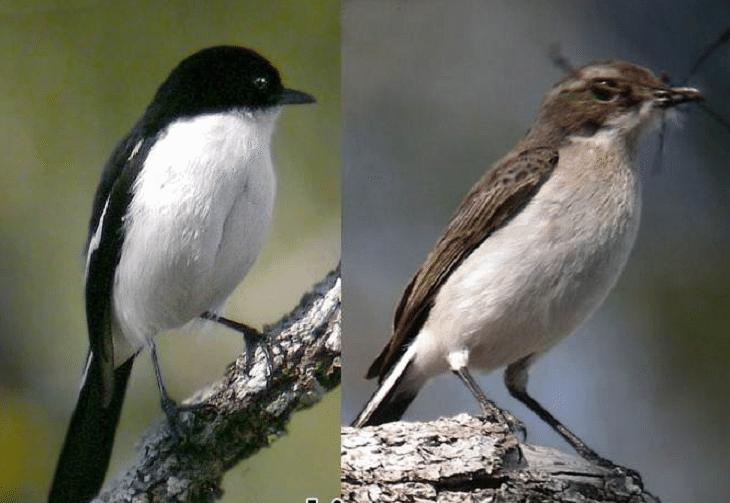 gambar burung decu leher putih