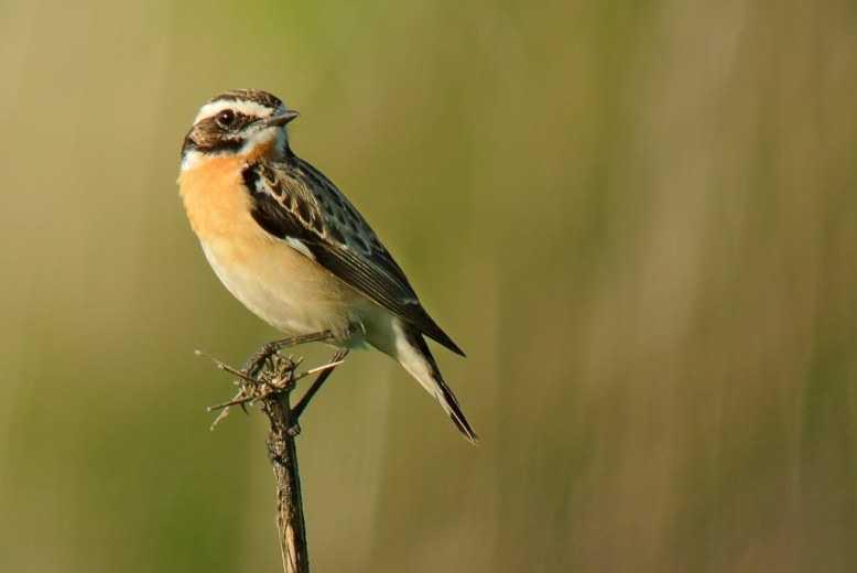 gambar burung decu whincat