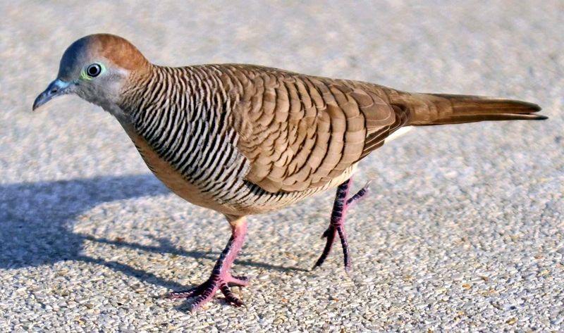 gambar burung perkutut import bangkok
