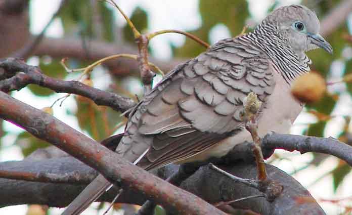 gambar burung perkutut lurah