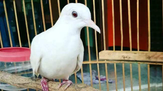 gambar burung perkutut putih