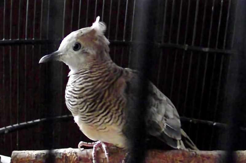 gambar burung perkutut songgo ratu
