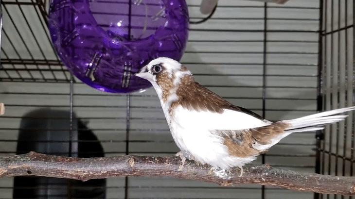 gambar burung pipit jepang
