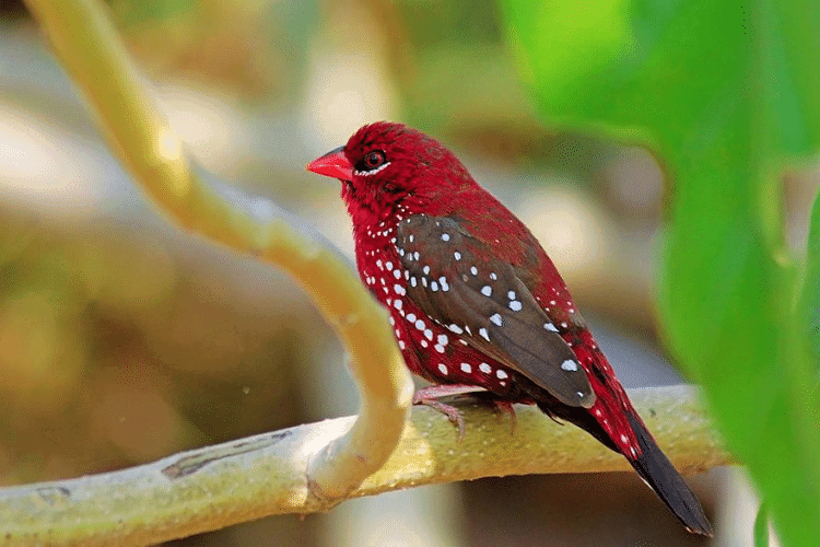 gambar burung pipit strawberry finch