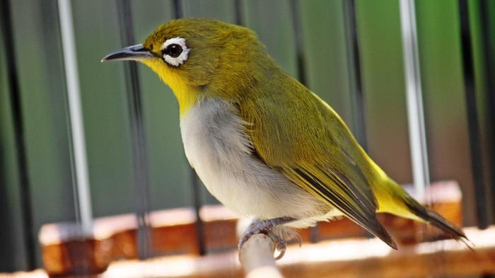 gambar burung pleci auriventer