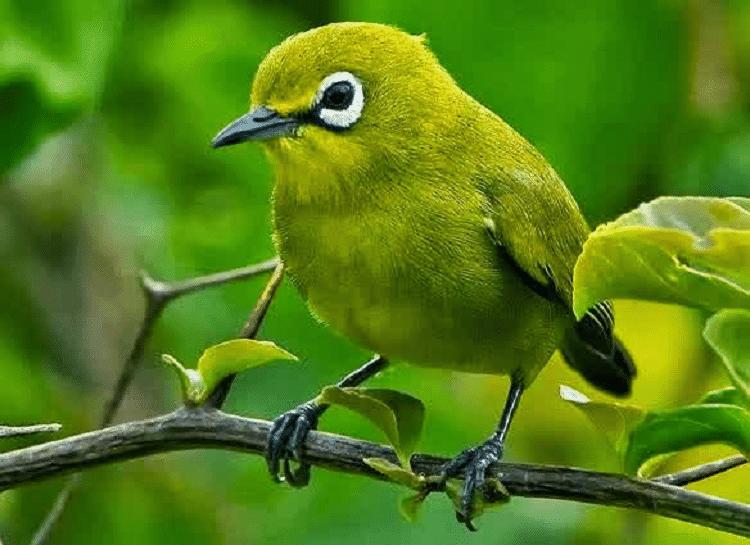 gambar burung pleci dakun bali