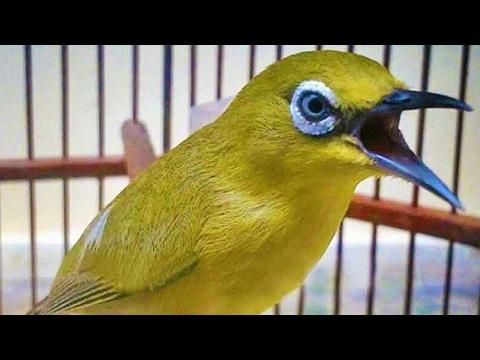 gambar burung pleci dakun dada kuning mata putih