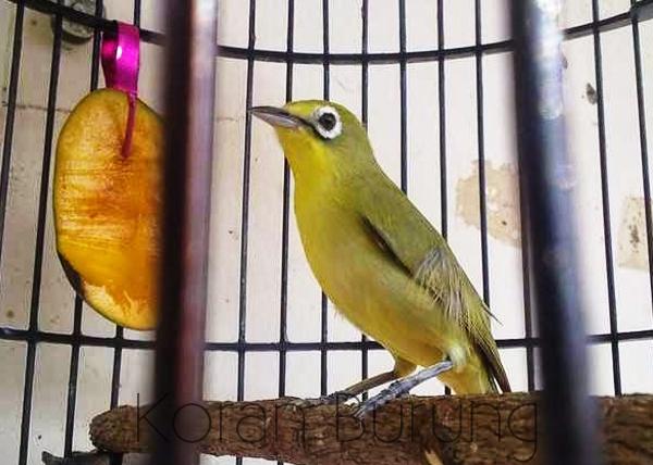 gambar burung pleci lombok