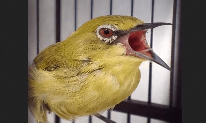 gambar burung pleci mata merah