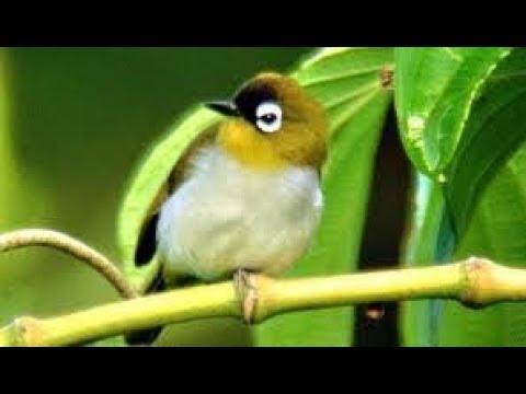 gambar burung pleci papua