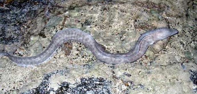 gambar ikan belut muara