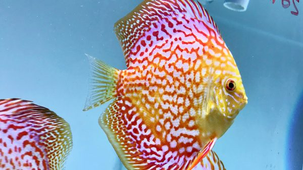 gambar ikan discus golden leopard