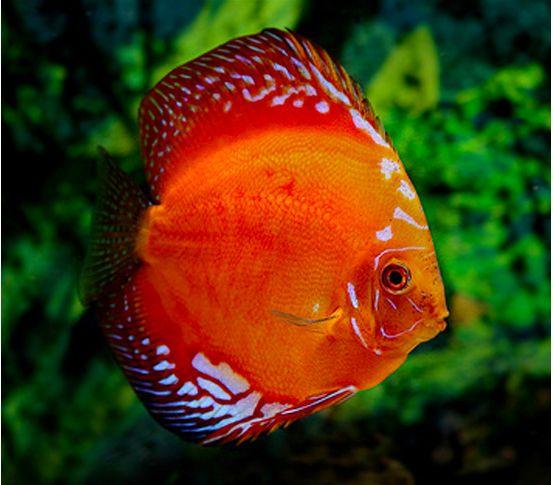 gambar ikan discus marlboro red