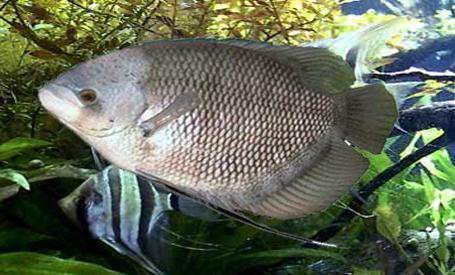 gambar ikan gurame jepang