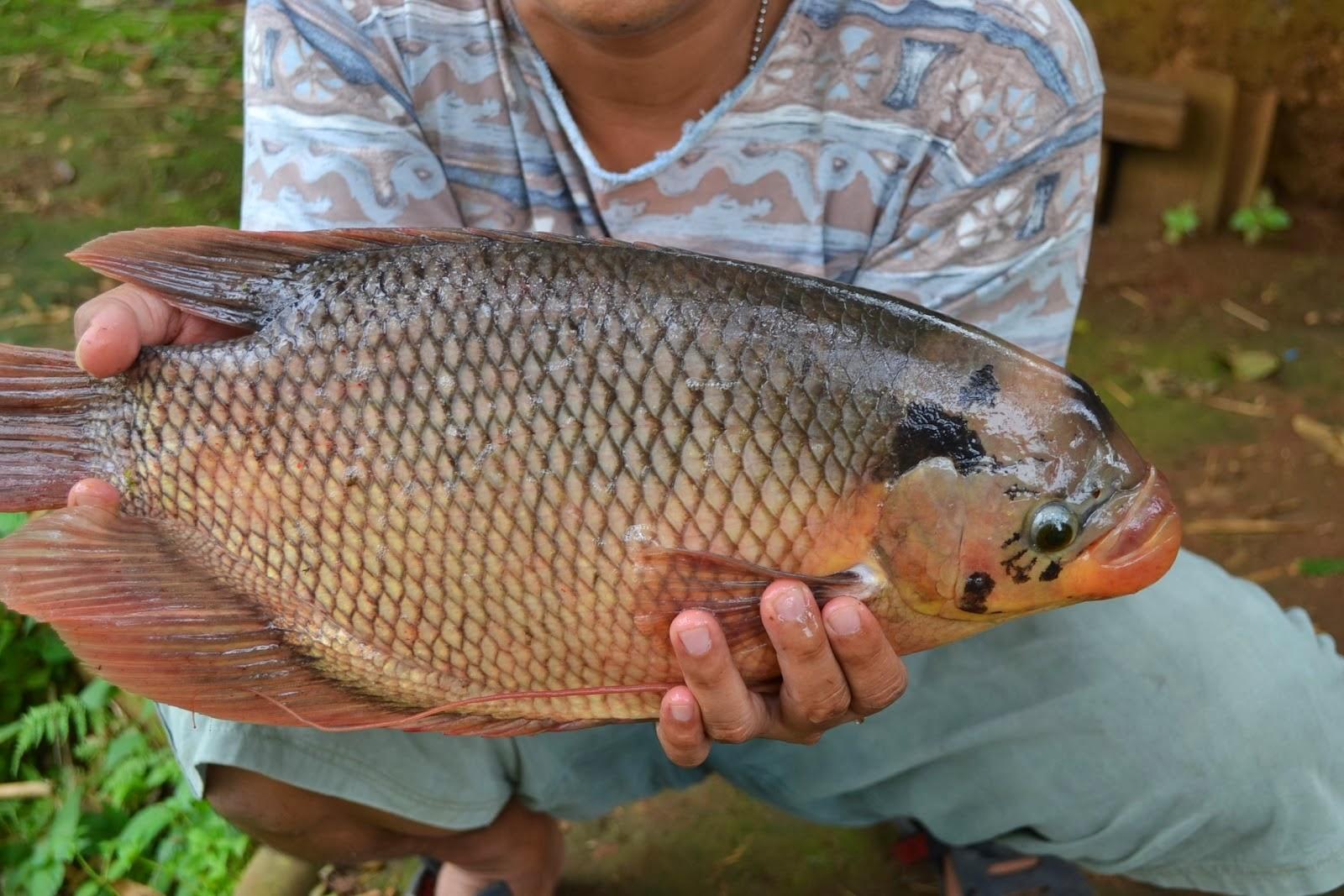 gambar ikan gurame porselen