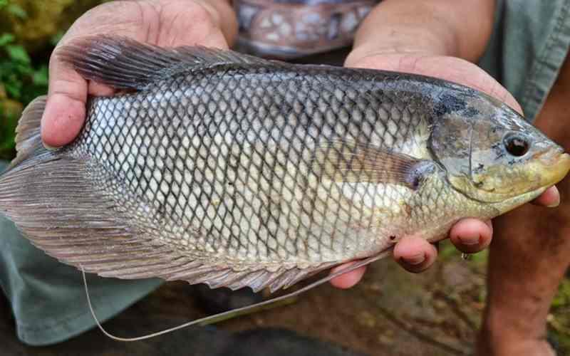 gambar ikan gurame soang