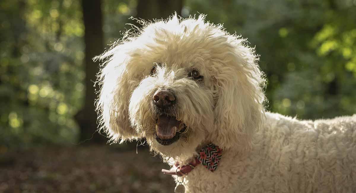 gambar kepala anjing pudel
