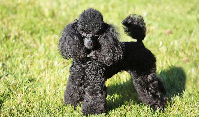 info anjing pudel