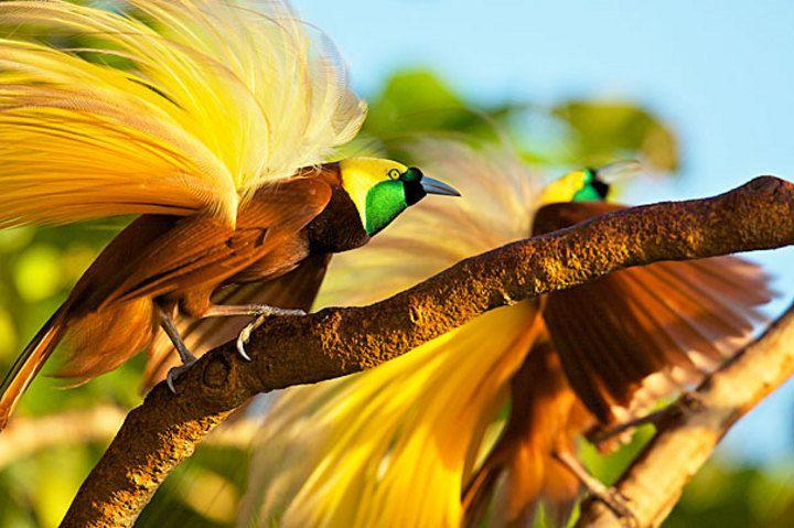 info burung cenderawasih