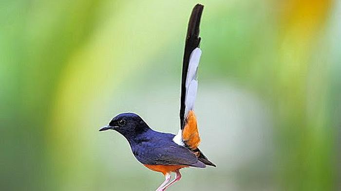 Jenis dan Pakan Burung Murai