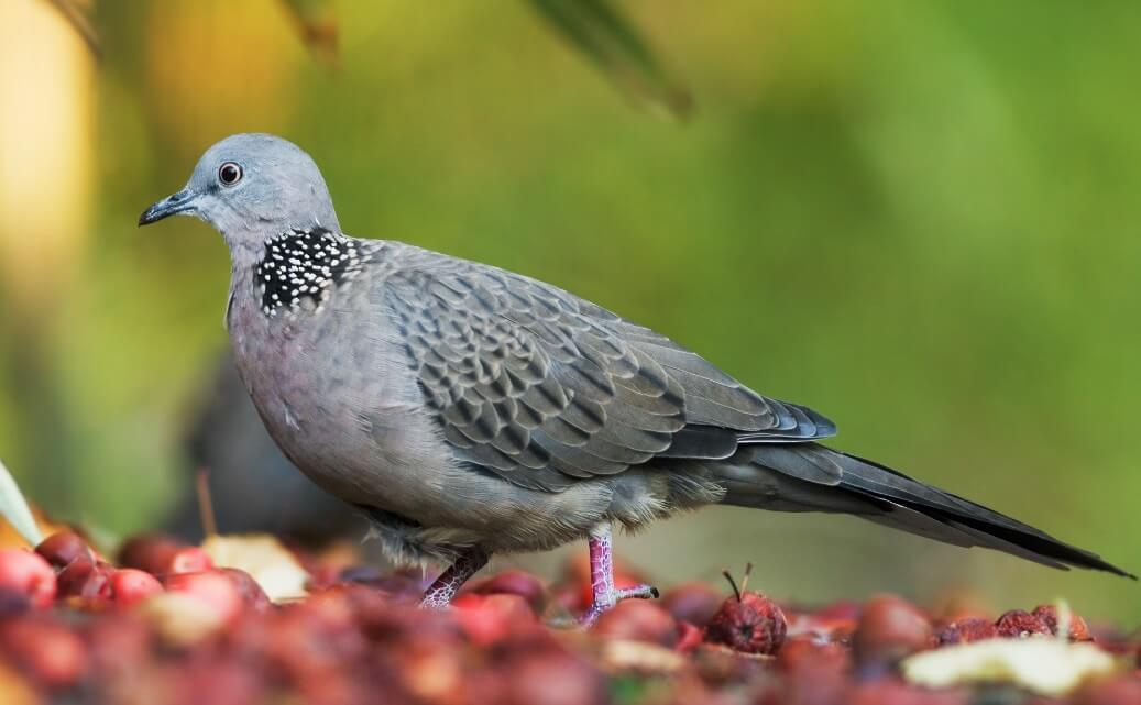 info burung perkutut
