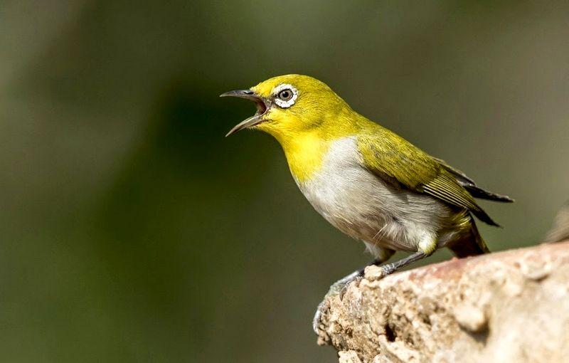 info burung pleci