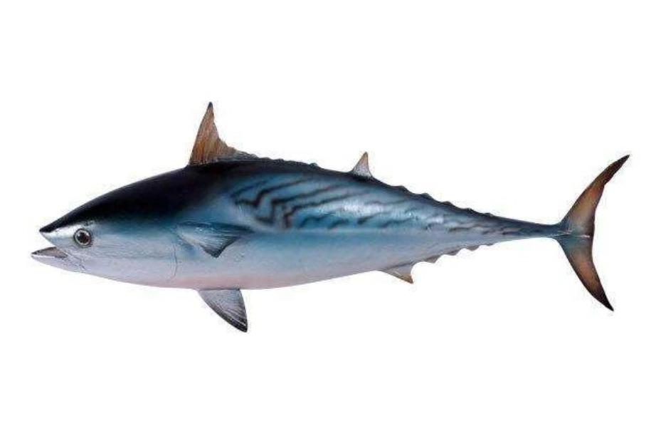 info ikan tongkol