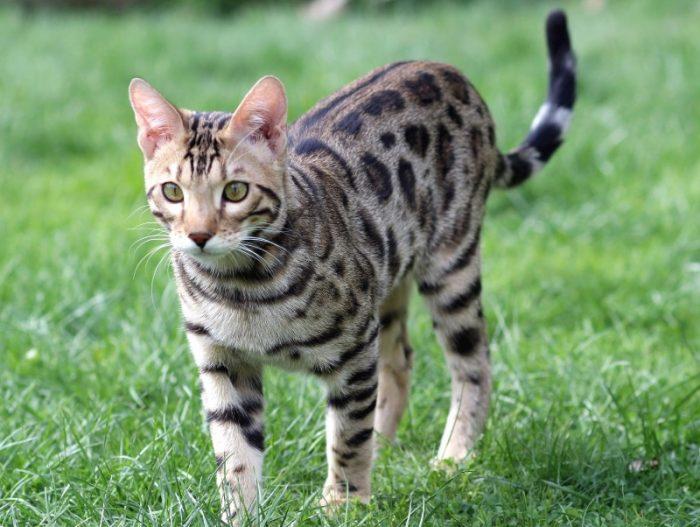 info kucing bengal